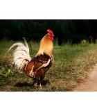 Pollos | Animales de Granja | Humus Versol